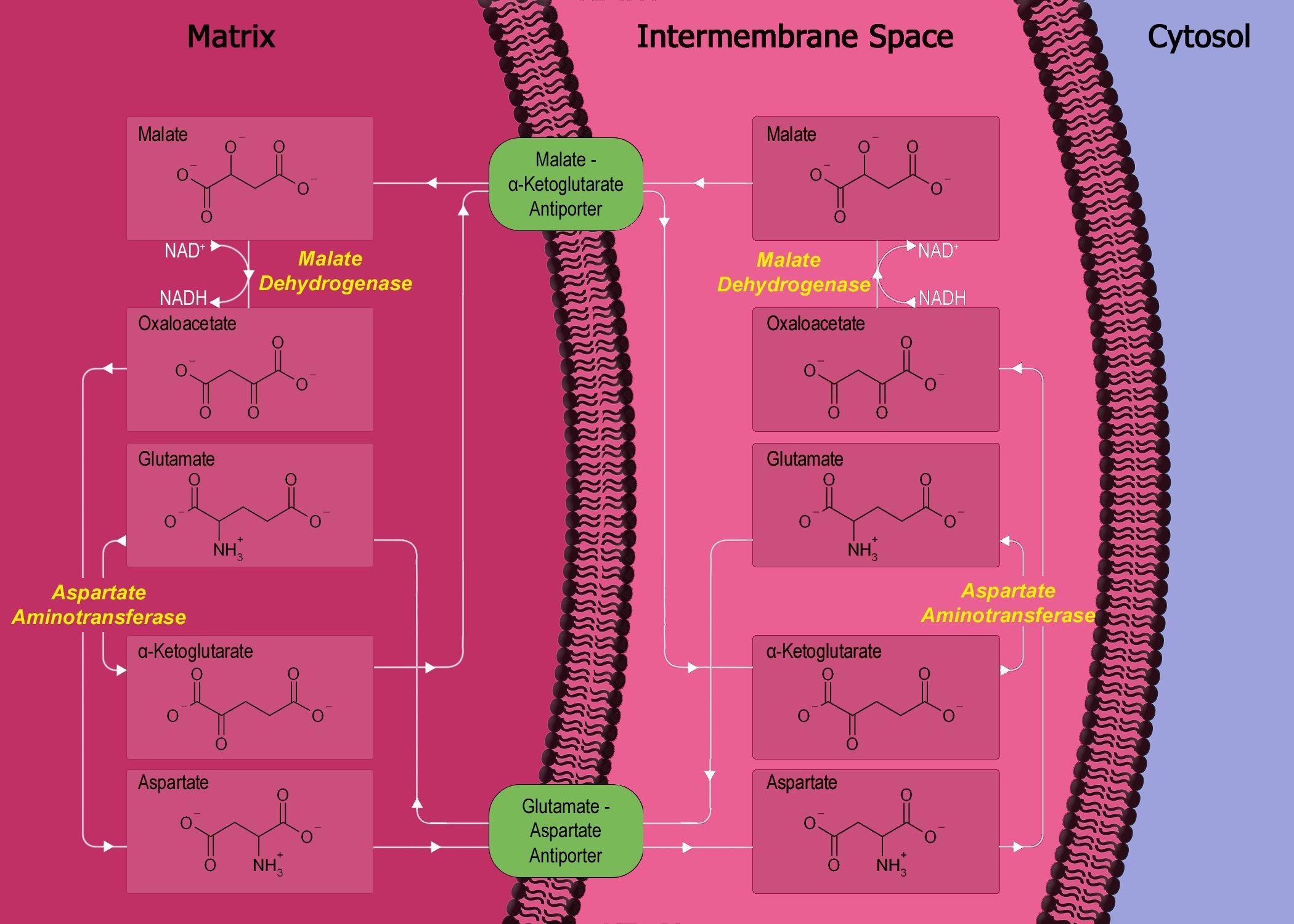 malate aspartate shuttle